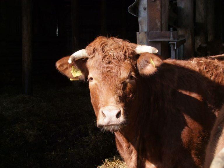 Limousin Rindfleisch vom Bauernhof Schürdt